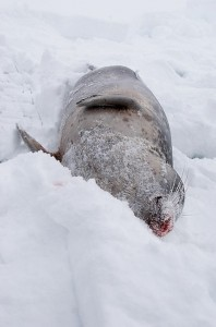 Dead_seal_in_the_snow
