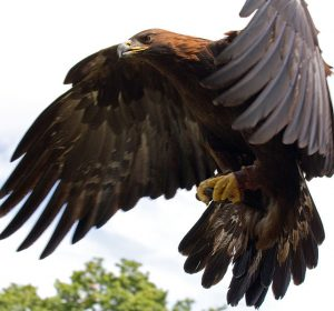 -Golden_Eagle_in_flight_-_5