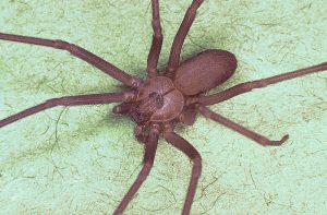 Brown_recluse_spider,_Loxosceles_reclusa