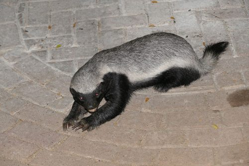 Difference Between Badger and Honey Badger-1