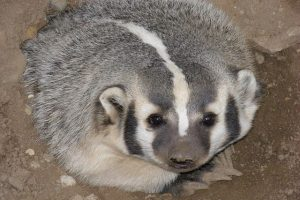 Difference Between Badger and Honey Badger
