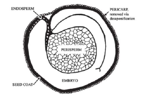 Difference between Perisperm and Endosperm