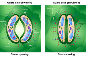 Difference between Stoma and Stomata