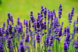 Everything You Need to Know about Lavender Fascinating Facts