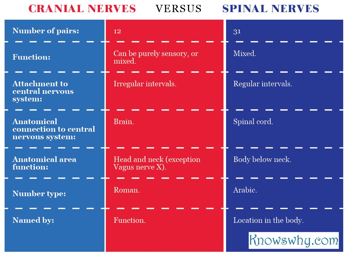 all spinal nerves are mixed nerves