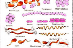 Difference between Cocci and Bacilli-1