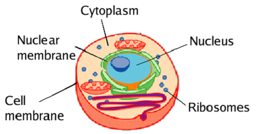 Difference between Cytoplasm and Nucleoplasm