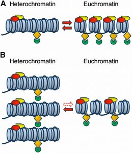 Difference between Euchromatin and Heterochromatin