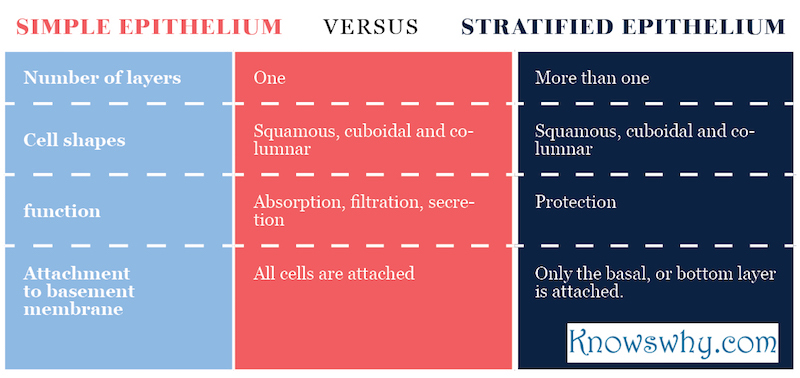 Simple epithelium VERSUS stratified epithelium