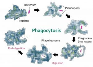 The Difference between Endocytosis and Phagocytosis-1