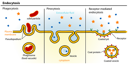 The Difference between Endocytosis and Phagocytosis