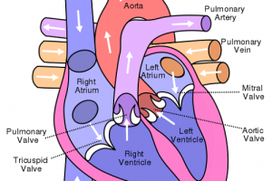 Difference Between Pulmonary Artery and Pulmonary Vein