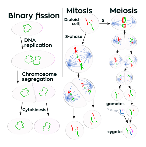 Difference between Binary Fission and Mitosis