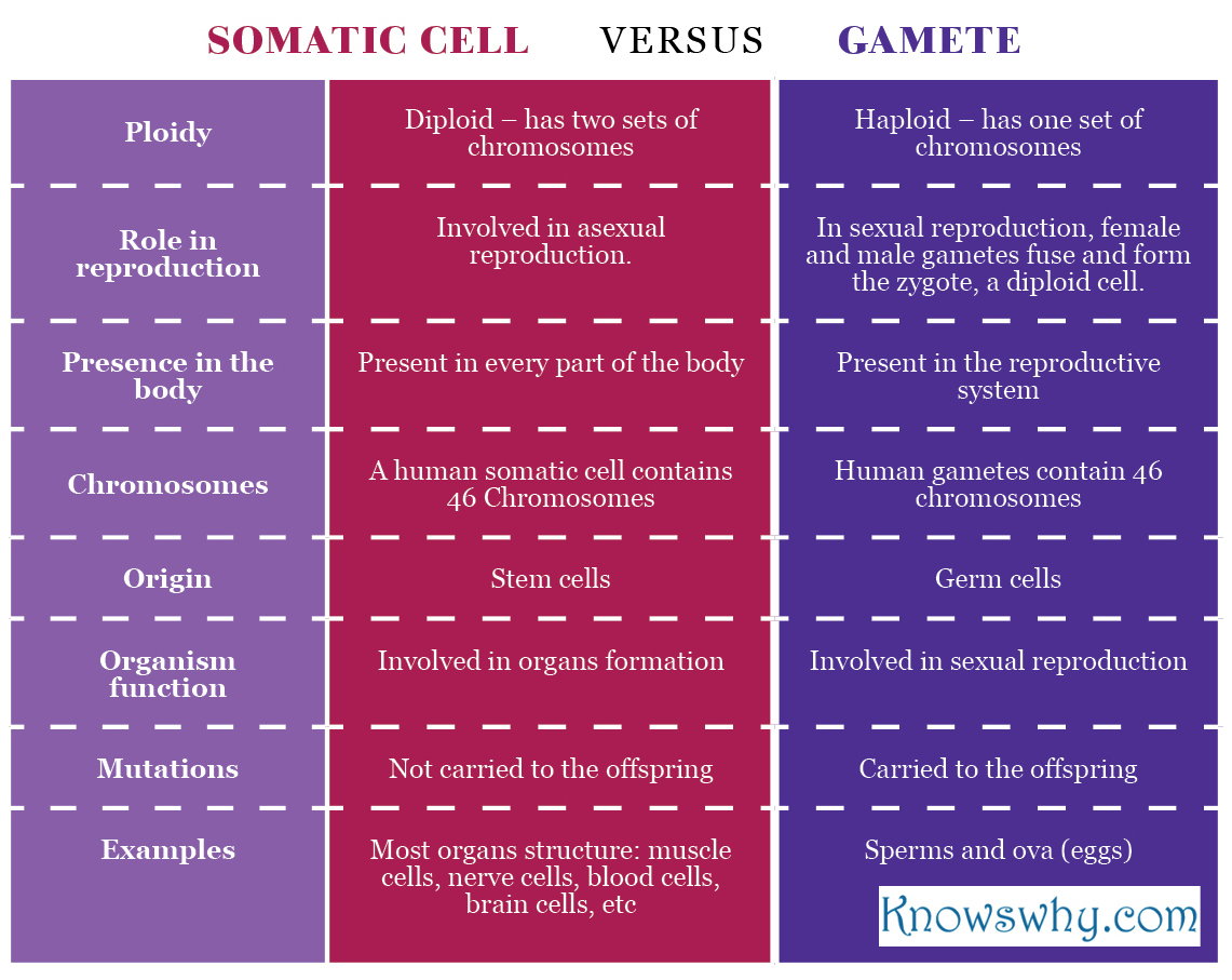 Somatic cell VERSUS Gamete