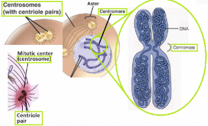 Difference Between Centrosome and Centromere