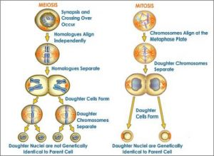 Similarities Between Binary Fission and Cell Division-1