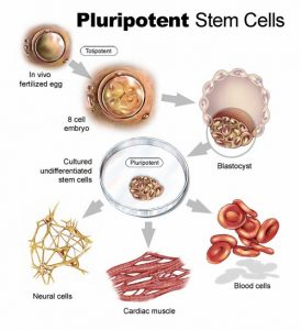 Similarities between adult and embryonic stem cells-1