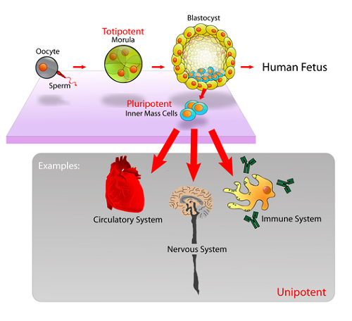 Similarities between adult and embryonic stem cells