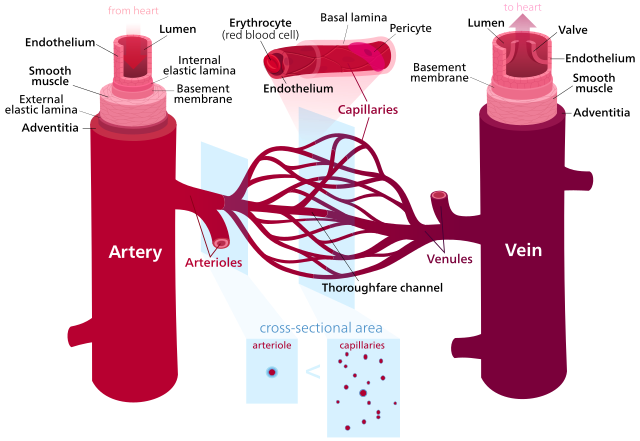 Similarities Between Arteries and Veins