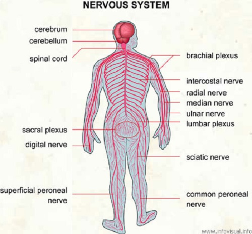 Similarities Between Endocrine and Nervous System-1