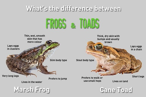 Similarities Between Frogs and Toads