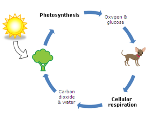 Similarities between photosynthesis and cellular respiration